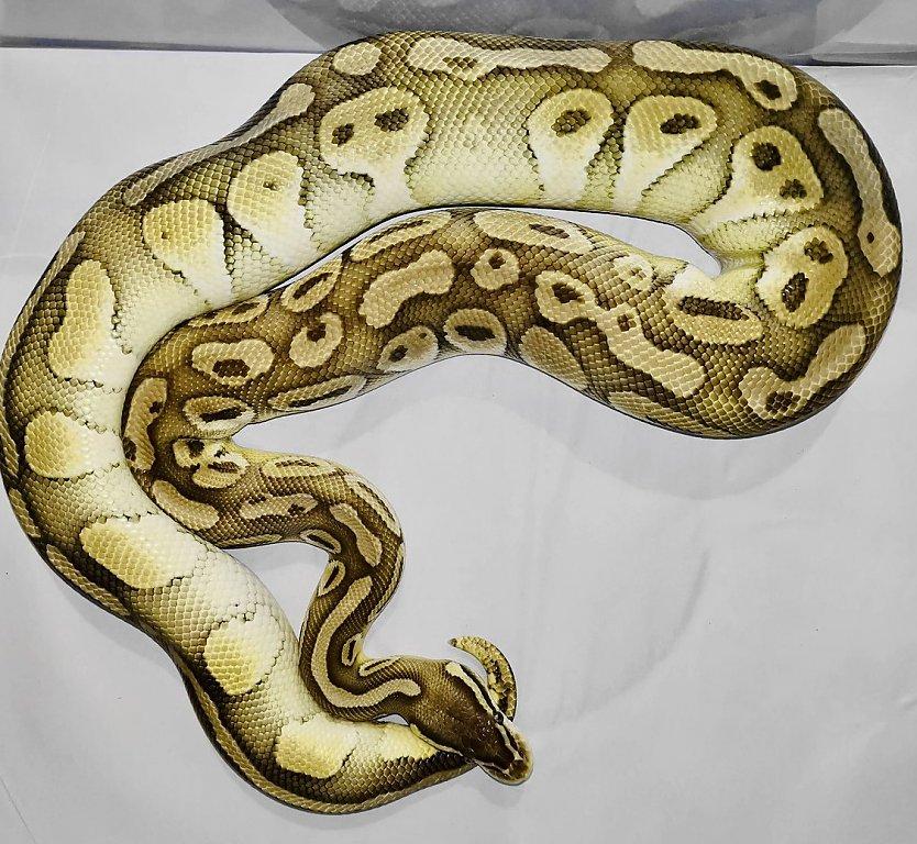 Pastel lesser