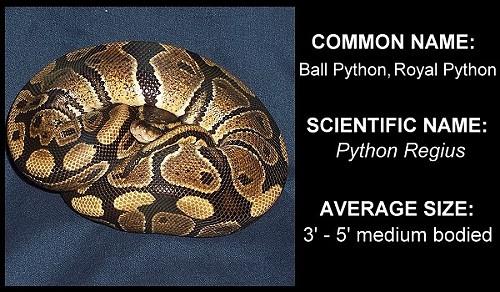 & Ball Python (Python regius) Caresheet